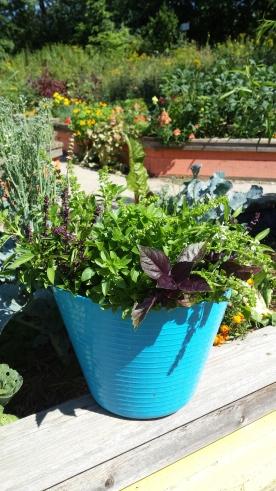 Just a little basil harvest in the High Park Children's Garden.